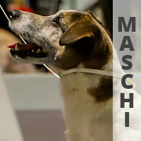 jack russell maschi